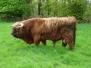Mosscairn Highland Cattle